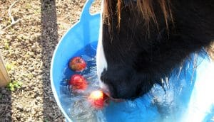 Apple bobbing is a great way to entertain and occupy your horse, as well as a good way to feed treats