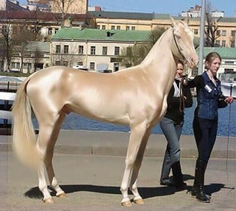The most unusual horse breeds in the world - Akhal Teké