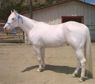The most unusual horse breeds in the world - Camarillo White Horse
