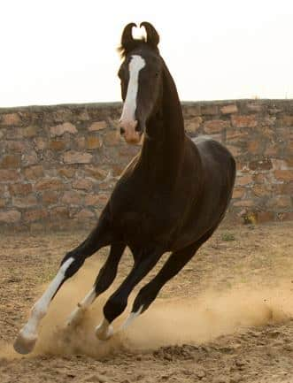 The most unusual horse breeds in the world - Marwari