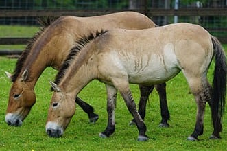 The most unusual horse breeds in the world - Przewalski's Horse