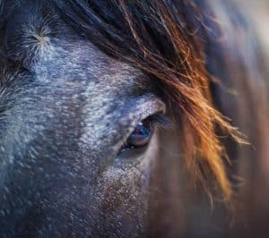 Gray hairs around the eyes are a sign that a horse is getting old