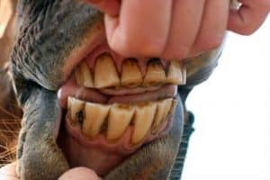 You can tell a horse's age by his teeth