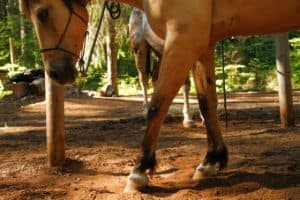 Horses will often paw the ground before they roll