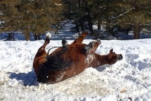 Horses often roll in the winter to cool themselves down