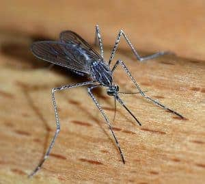 Mosquitoes can carry diseases that affect horses