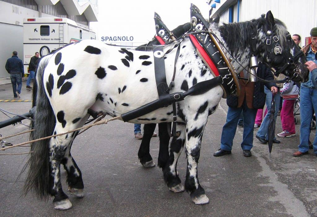A native of Austria, the Noriker is one of two spotted draft horse breeds in the world