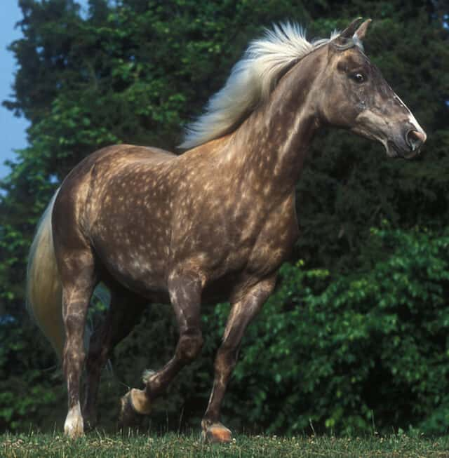 Silver dapple horses are black with the silver gene