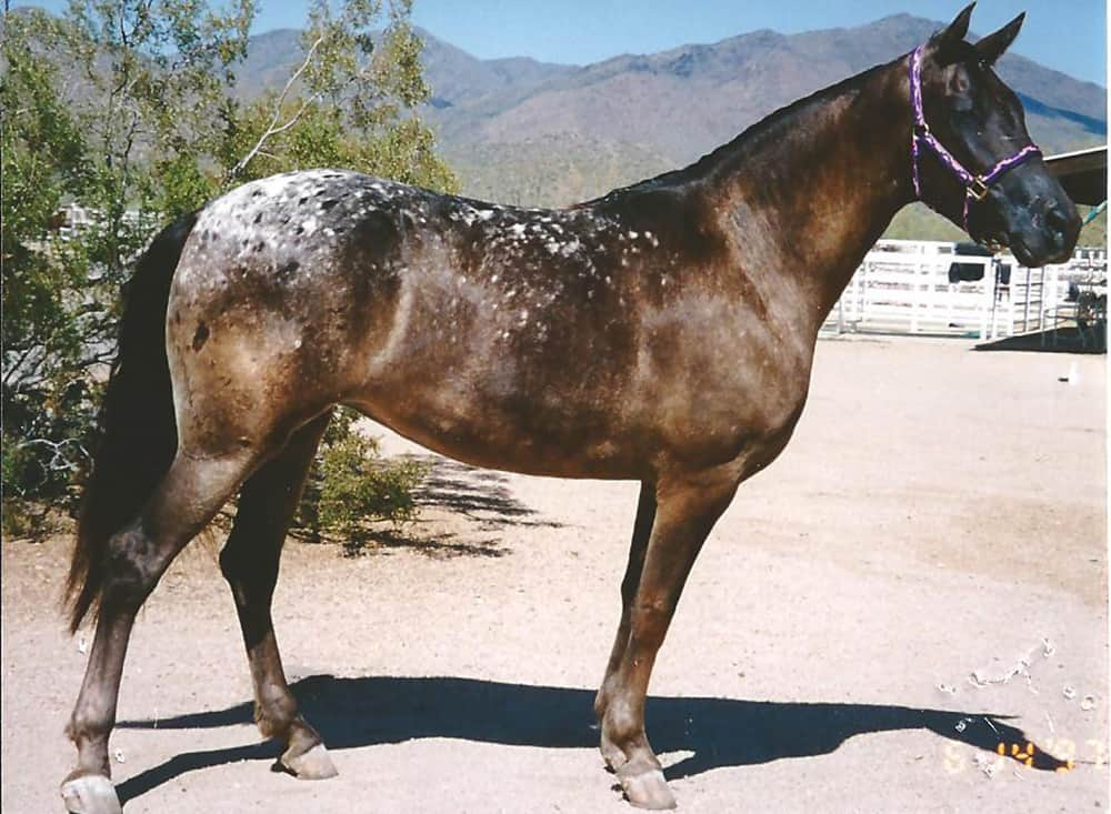 The Walkaloosa isn't that well known but has a striking spotted coat pattern