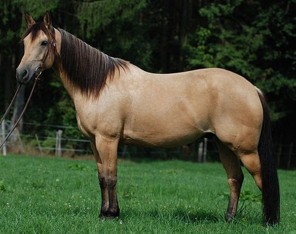 A buckskin horse is a bay horse with a cream dilution gene