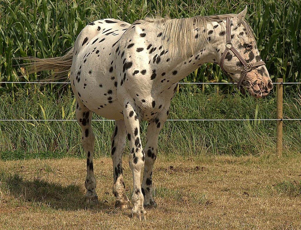 Native to Denmark, the Knabstrupper is known for its spotted coat patter