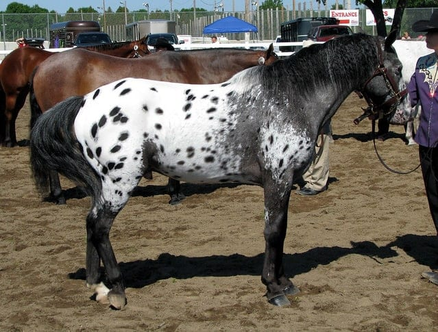 The Pony of the Americas was created when an American Shetland was accidentally bred with an Appaloosa