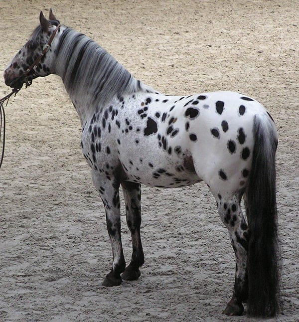 The leopard complex gene is responsible for all spotted coat patterns in horses