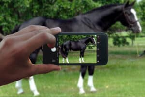 Taking a good photograph of your horse is crucial to selling your horse