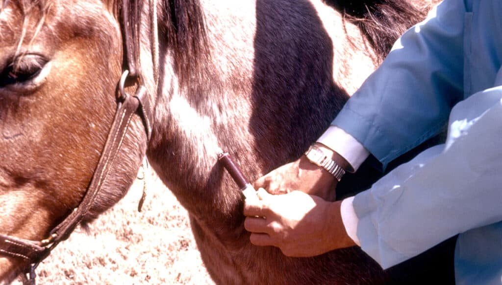 A blood test can confirm if your horse is pregnant