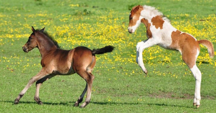 New born foals are full of energy