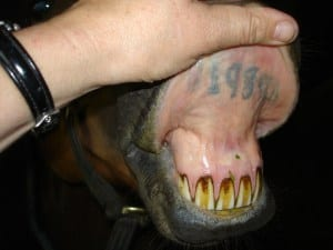 Lip tattoos can help to prevent your horse being stolen but can also help to identify them if they are