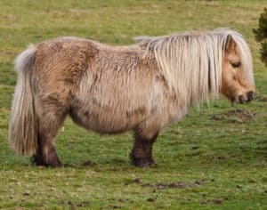 The Shetland Pony is ideal for young children