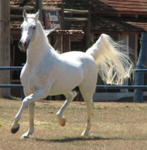 The Arabian Horse is gentle can great for children
