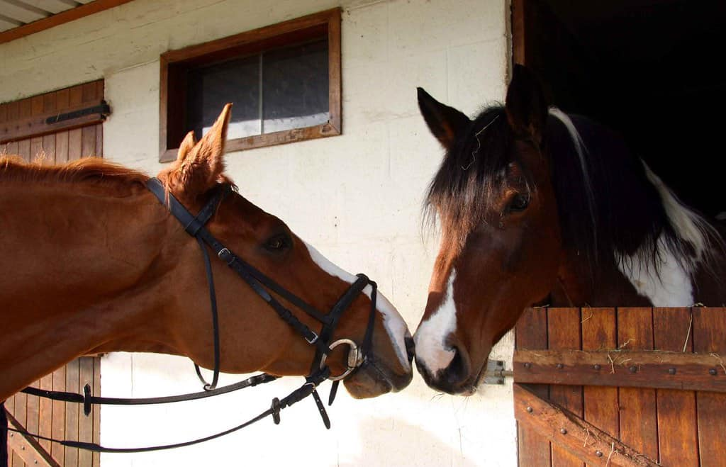Horses 'kiss' each other by sharing air