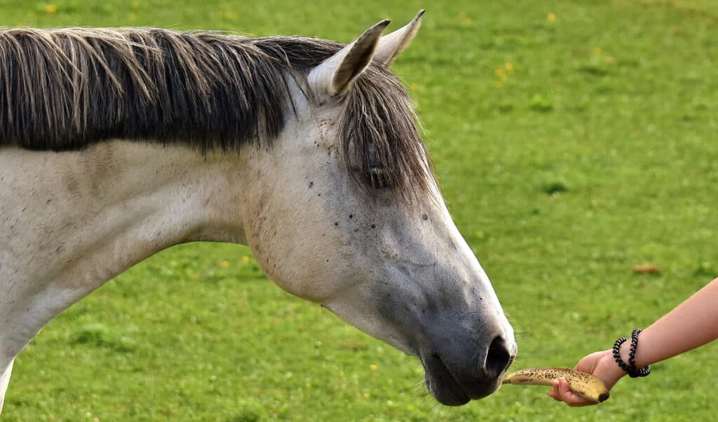 Horses love to eat bananas and will even eat the peel