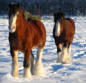 The Clydesdale horse is a gentle giant that's loved for its friendly disposition