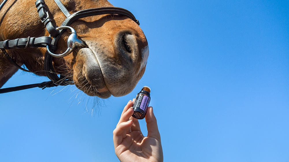 Lavender is great for calming a stressed out horse