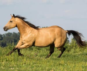 Quarter Horses are know for being calm and friendly