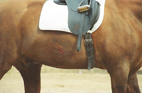 A typical puncture wound left by riding spurs