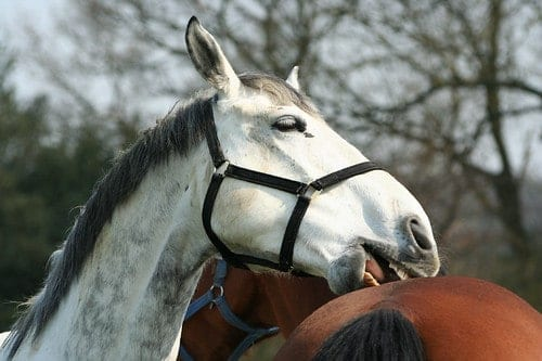 Horses mutually good each other, it helps to establish the herd hierarchy as well as reduce stress