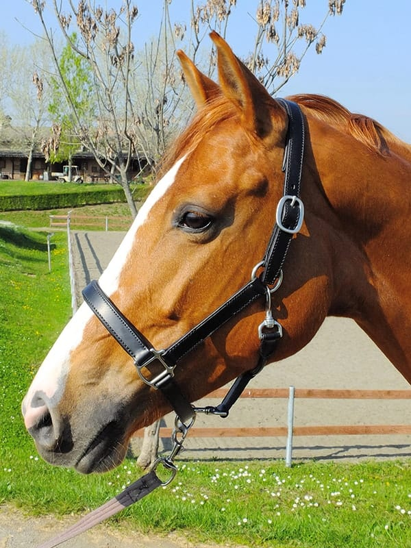 Leather is one of the most popular materials for horse halters
