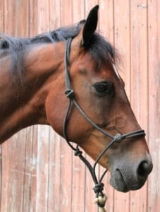 Dually halters are a great training devise for horses