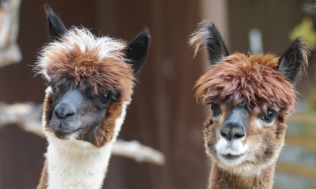 Both alpacas and llamas can be great company for horses