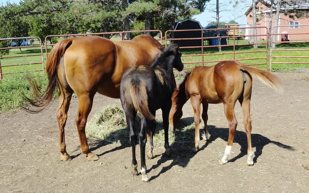 Horse twins can be a risky business, for the the mare and the foals