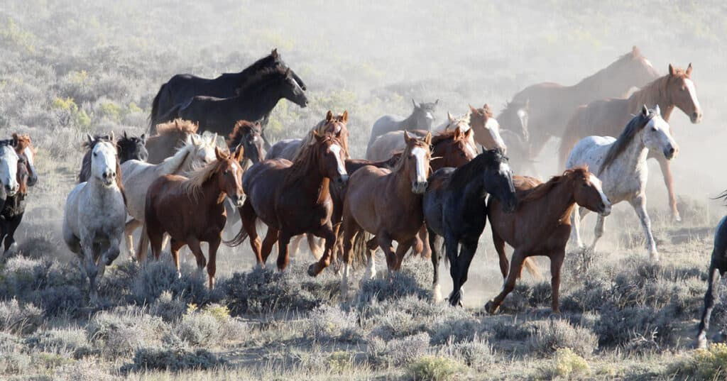 many horses breeds are famed for their ability to find their own way home