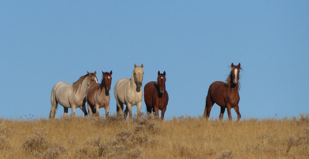 In the wild horses are able to navigate to local watering holes, the best grazing places, and back again without getting lost