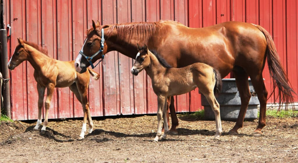 Generally when a horse has twins both foals are smaller than a single foal