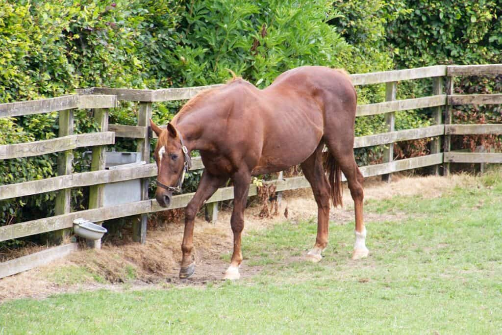 Horses can paw at the ground if they have too much energy