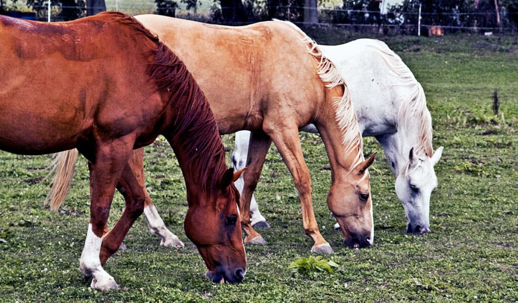 Giving young horses plenty of grazing will help to stop them chewing wood
