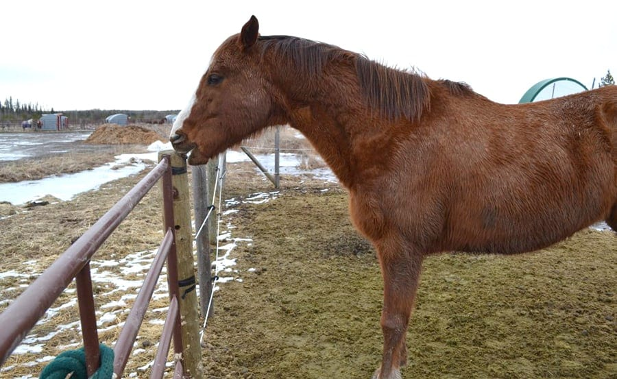 During the winter horses can start to chew wood because they're not getting the nutrients from their forage