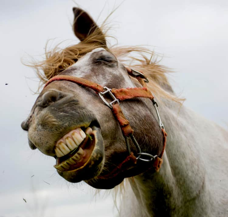 Horses often show their teeth when they shake