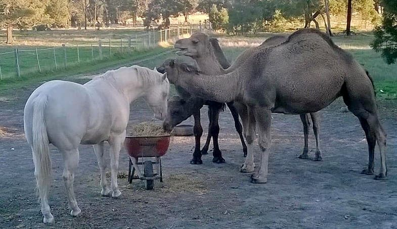 Camels can make surprising companions for horses