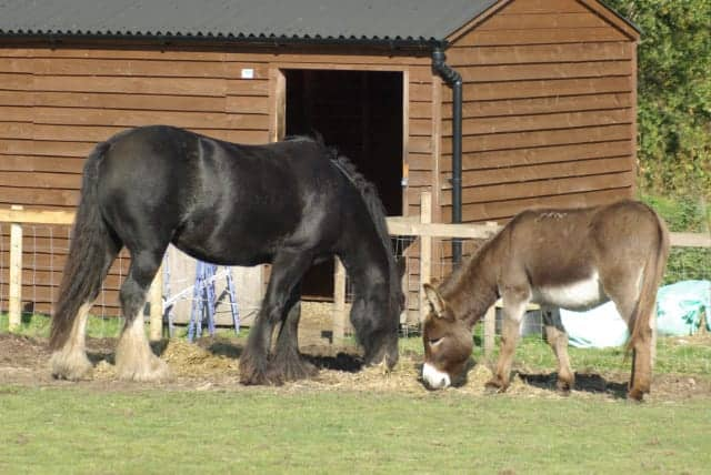 Donkeys and horses are often seen together and can make great companions