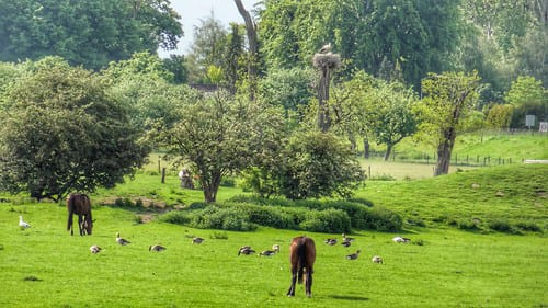 Geese and horses are more than happy to graze together