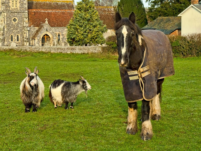 Horses and goats have similar body language so make perfect companions