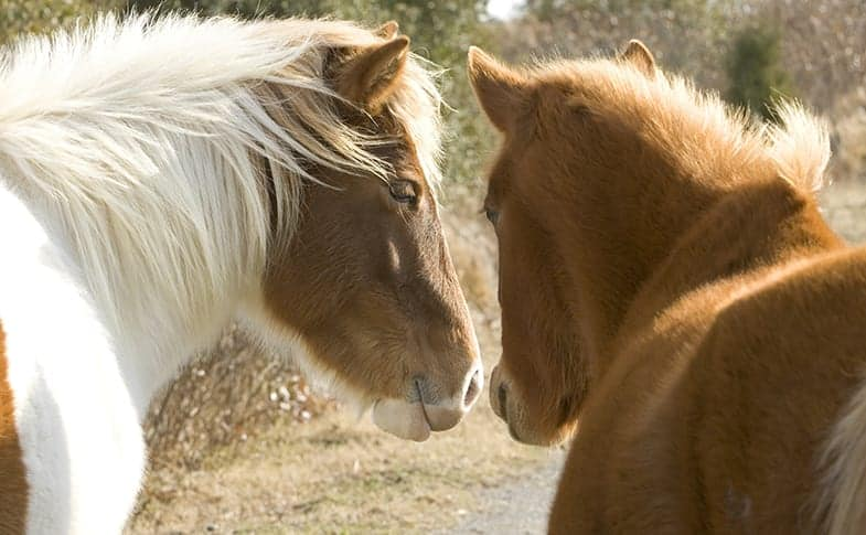 Horses share air as a way of showing each other affection, like humans kissing