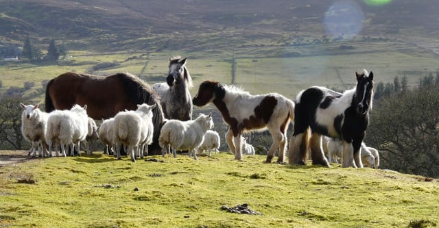 Sheep and horses get on surprisingly well