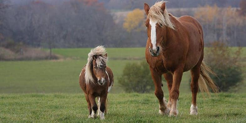The differences between a horse and pony are more than just visual