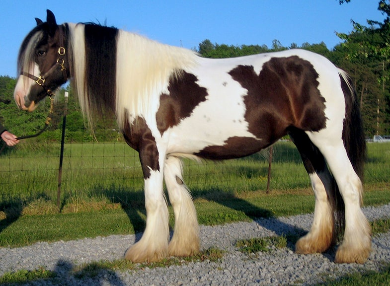 Draft horses tend to be much stronger than other horses
