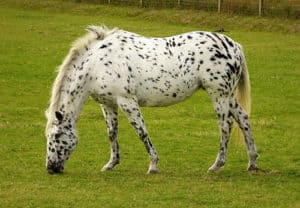 The Appaloosa's popularity has made it cheaper than you might think